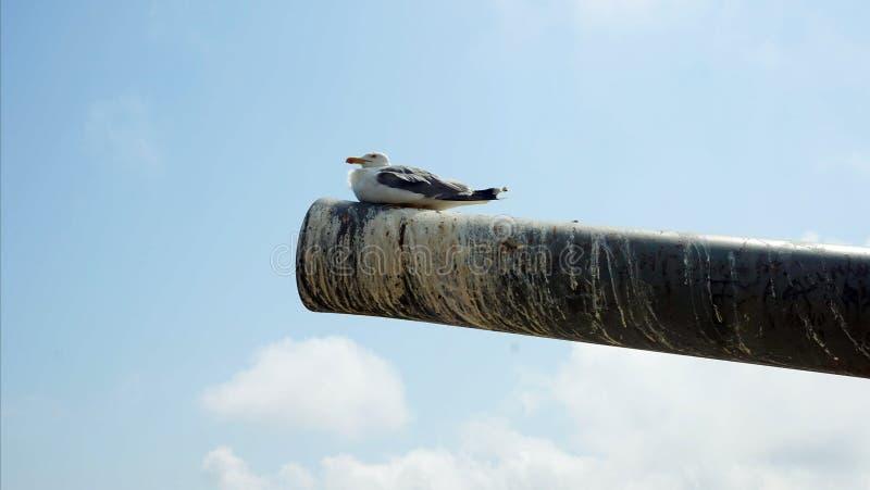 Um pássaro que senta-se em um tambor de arma, pendurando no ar imagens de stock royalty free