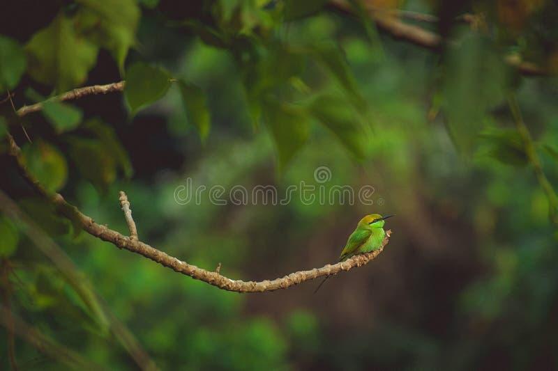 Um pássaro tropical verde pequeno senta-se em um ramo fotografia de stock royalty free
