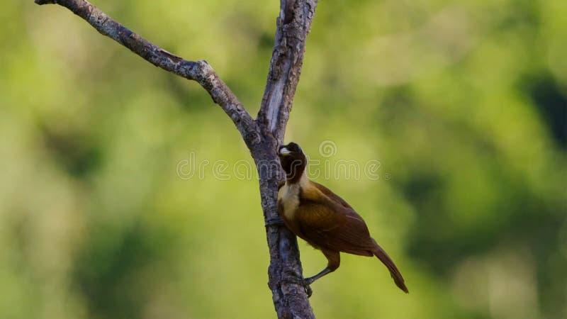 Um pássaro vermelho da exposição do paraíso nas copas de árvore A fêmea selecionará qualquer homem toma sua fantasia foto de stock royalty free