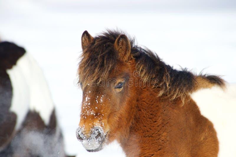 Um pônei vermelho está estando na neve fotografia de stock royalty free
