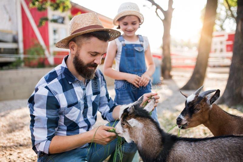 Um pai com filha pequena no exterior em fazenda familiar, alimentando animais fotografia de stock