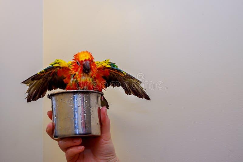 Um papagaio amarelo super para fazer um banho fotos de stock royalty free