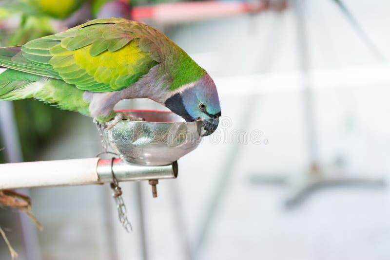 Um papagaio bonito do periquito de Derbyan imagens de stock royalty free