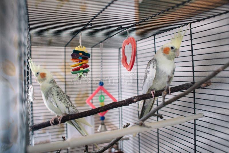 Um papagaio branco bonito dos pares em uma gaiola fotos de stock