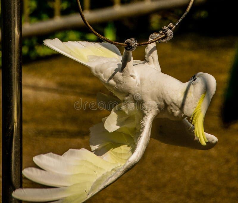 Um papagaio (cacatua enxofre-com crista) que executa um truque fotografia de stock royalty free
