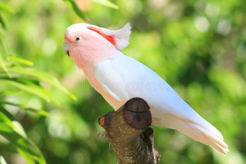 Um papagaio consideravelmente cor-de-rosa imagem de stock
