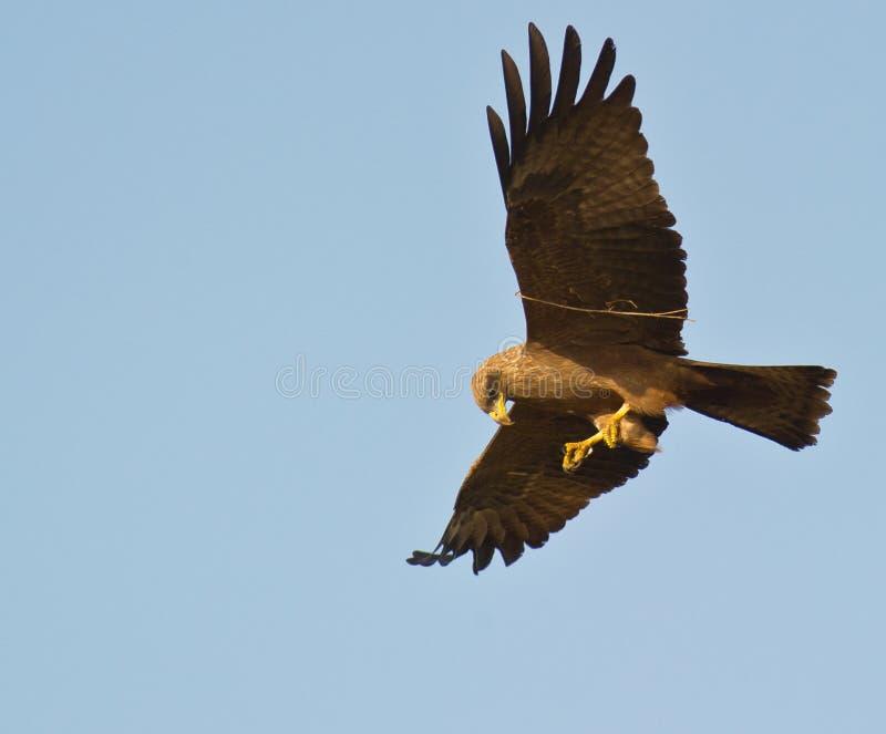 Um papagaio preto com um galho. fotografia de stock royalty free