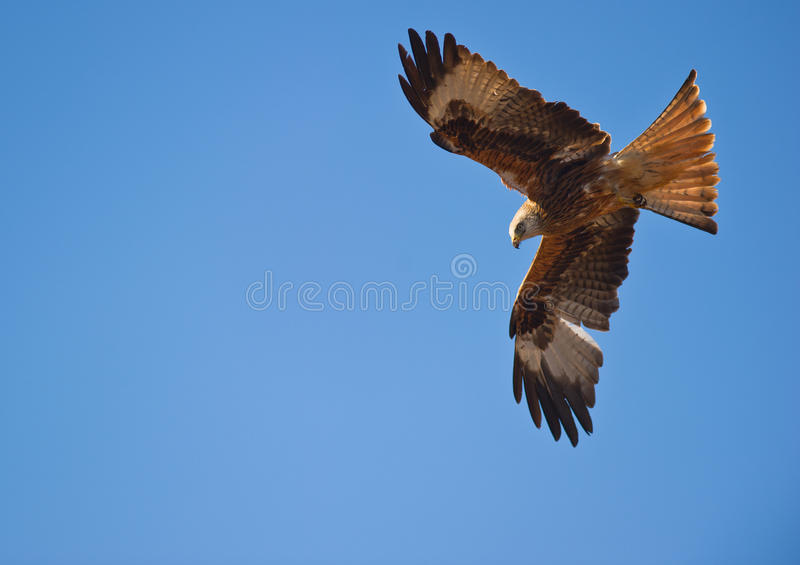 Um papagaio vermelho, mestre do vento imagem de stock