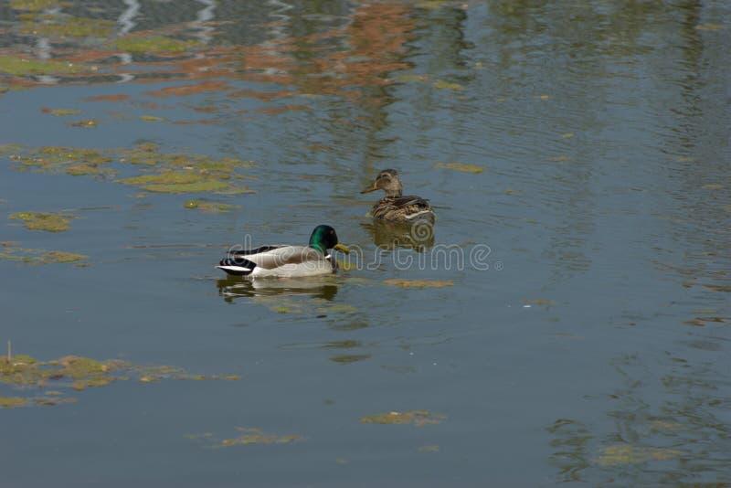 Um par acoplado de patos que nadam em uma lagoa que procura pelo alimento imagem de stock