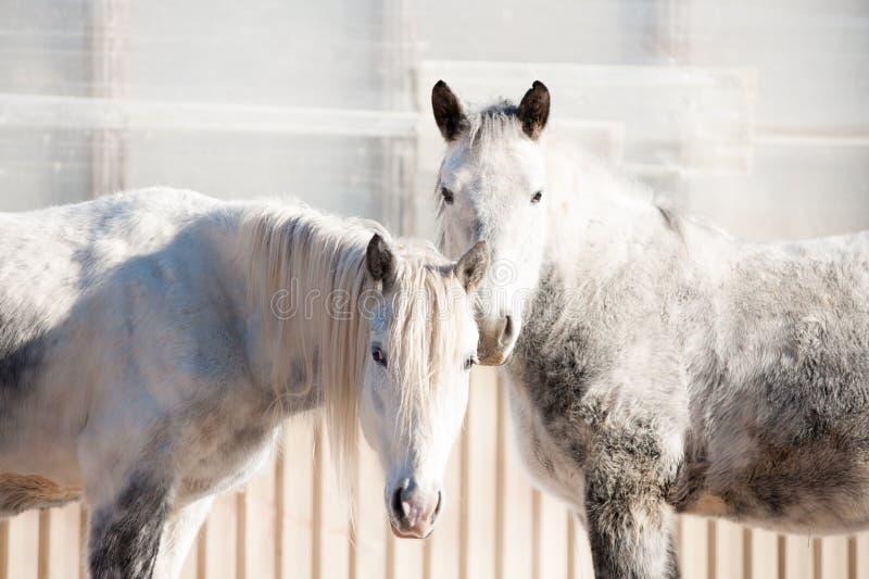 Um par agradável Dois cavalos do puro-sangue que estão na cerca do inverno fotos de stock
