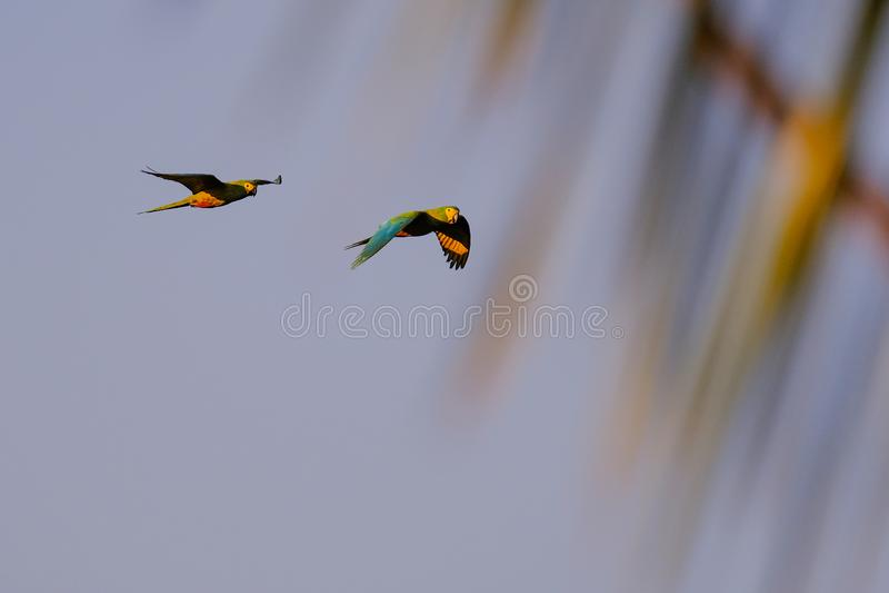 Um par arara Vermelho-inchada de voo, Orthopsittaca Manilata, Lagoa DAS Araras, Bom Jardim, Nobres, Mato Grosso, Brasil fotos de stock
