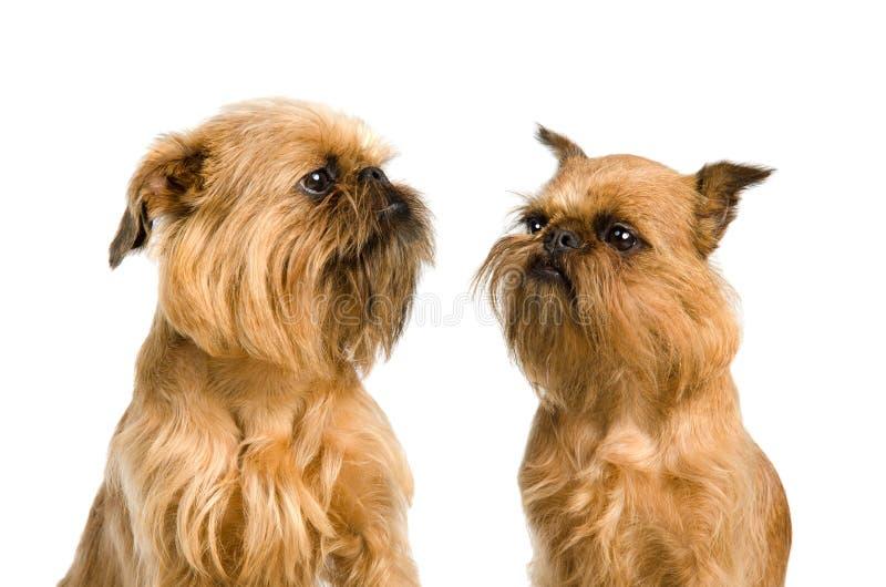 Um par cães de Griffon Bruxelense foto de stock