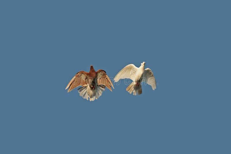 Um par da mosca masculina fêmea das pombas dos pássaros e vermelha branca ao redor imagem de stock royalty free