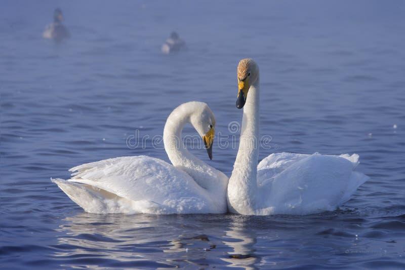 Um par das cisnes brancas imagens de stock royalty free