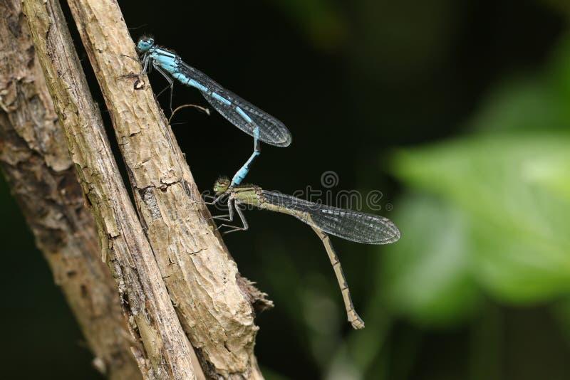 Um par de acoplamento de cyathigerum azul comum impressionante de Enallagma do Damselfly que empoleira-se em um galho imagens de stock royalty free
