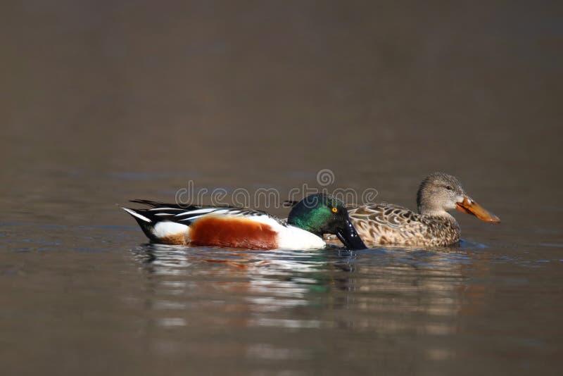 Um par de alimentar patos do pato-colhereiro do norte imagem de stock royalty free