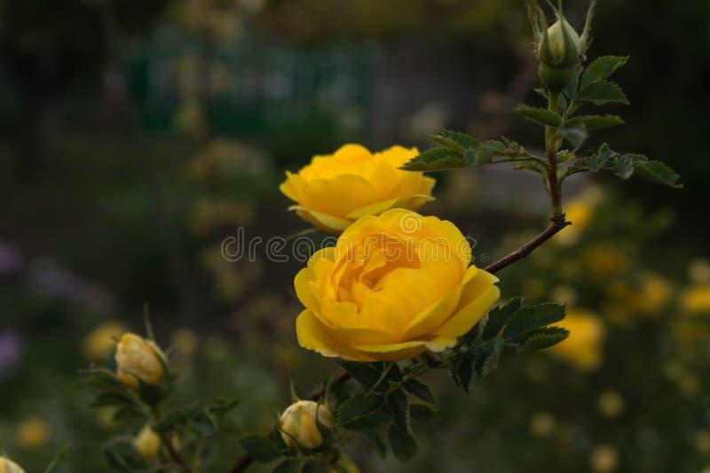 Um par de botões recentemente florescidos das rosas brancas em um arbusto com folhas verdes imagem de stock