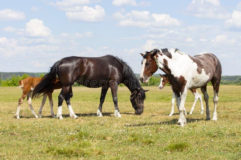 Um par de cavalos com potros Os cavalos bonitos com filhotes pastam em um prado verde, flores das nuvens do céu do fundo natural  imagem de stock royalty free
