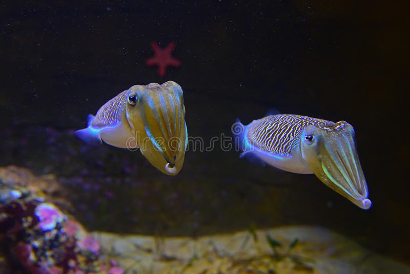 Um par de chocos de lamentação bonitos com a estrela do mar vermelha no fundo fotos de stock royalty free