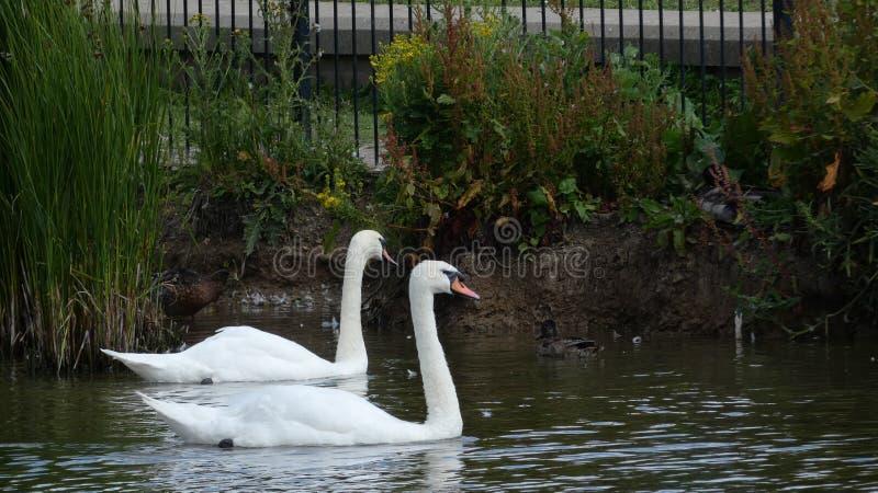Um par de cisnes que apreciam o santuário no amor para sempre 4 fotos de stock