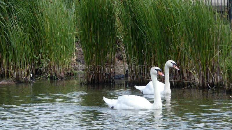 Um par de cisnes que apreciam o santuário no amor para sempre 3 imagens de stock