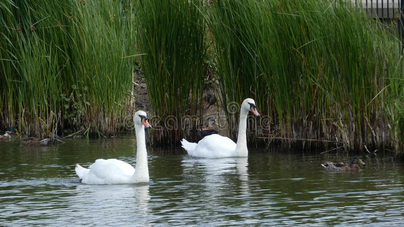 Um par de cisnes que apreciam o santuário no amor para sempre 2 imagens de stock royalty free