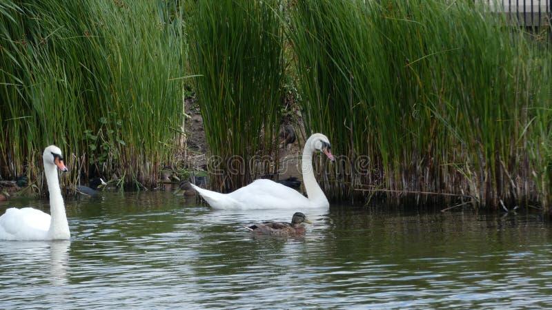 Um par de cisnes que apreciam o santuário no amor para sempre 1 fotografia de stock