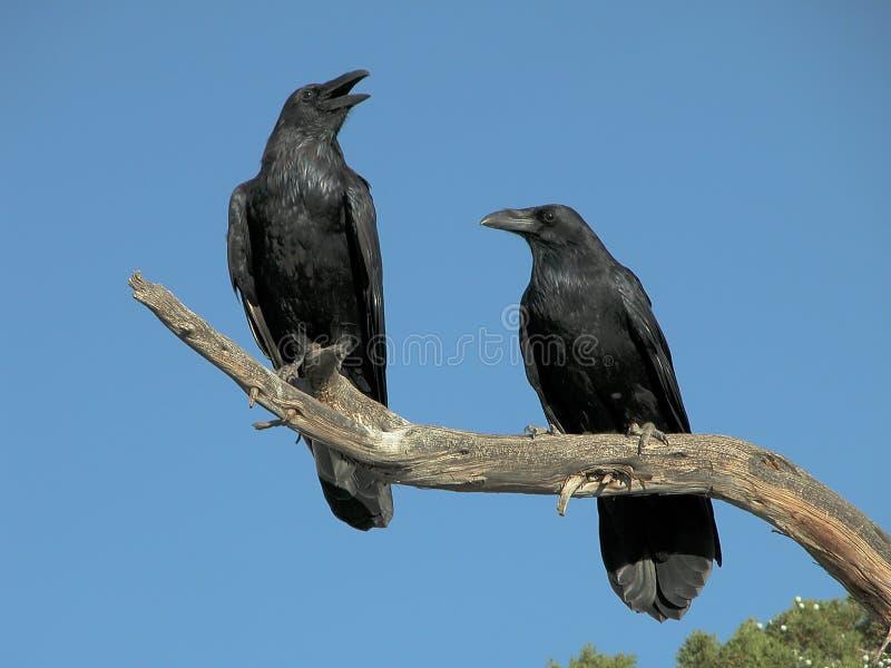 Um par de corvos imagens de stock royalty free