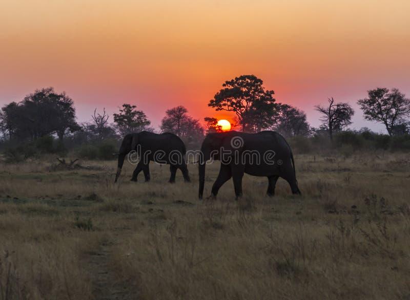 Um par de elefantes africanos mostrados em silhueta contra o sol de ajuste em Botswana fotografia de stock royalty free