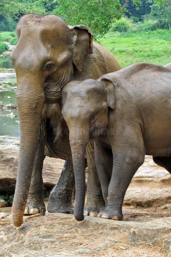 Um par de elefantes no amor imagem de stock