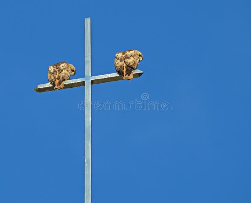 Um par de falcões da Vermelho-cauda empoleira-se em uma cruz foto de stock
