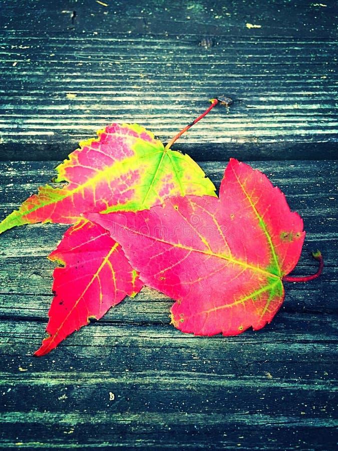 Um par de folhas de bordo caídas da queda fotografia de stock