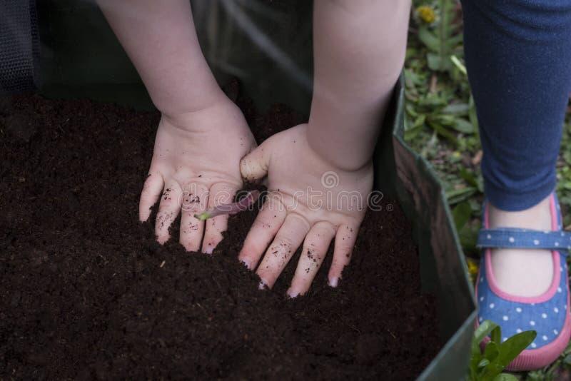 Um par de mãos que plantam batatas fotos de stock