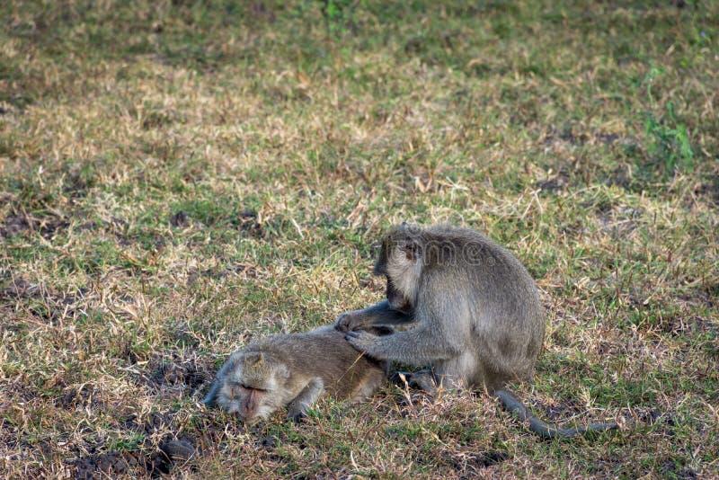 Um par de macaco cinzento está ajudando-se no savana Bekol, Baluran O parque nacional de Baluran é uma área da preservação da flo fotos de stock