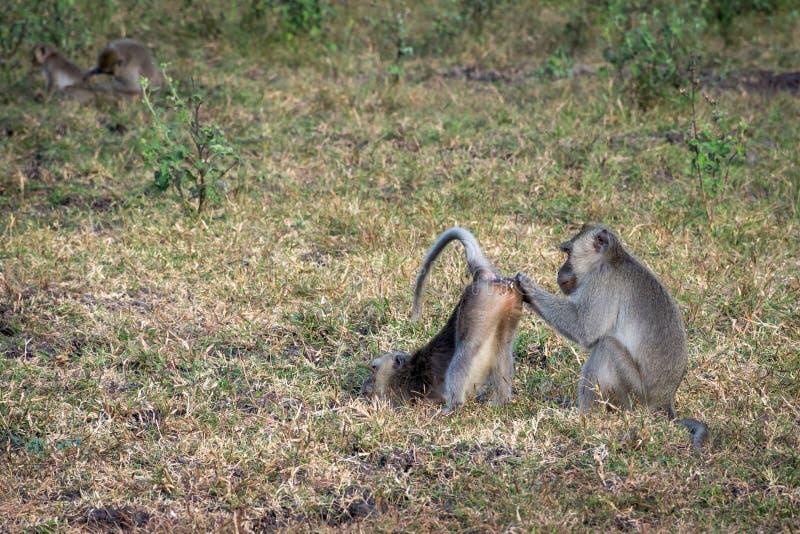 Um par de macaco cinzento está ajudando-se no savana Bekol, Baluran O parque nacional de Baluran é uma área da preservação da flo fotografia de stock