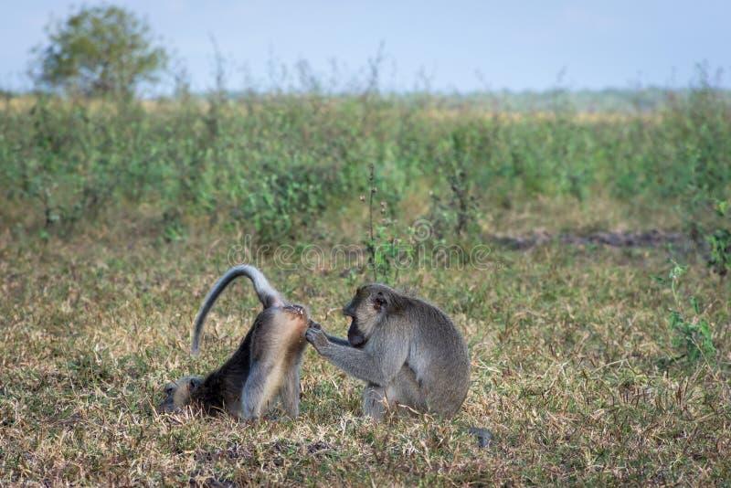 Um par de macaco cinzento está ajudando-se no savana Bekol, Baluran O parque nacional de Baluran é uma área da preservação da flo fotografia de stock royalty free