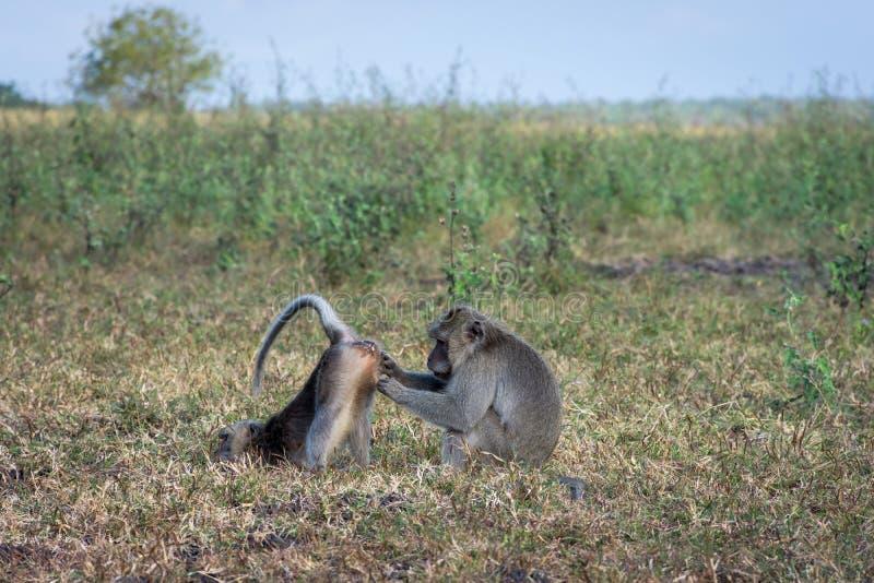 Um par de macaco cinzento está ajudando-se no savana Bekol, Baluran O parque nacional de Baluran é uma área da preservação da flo imagens de stock