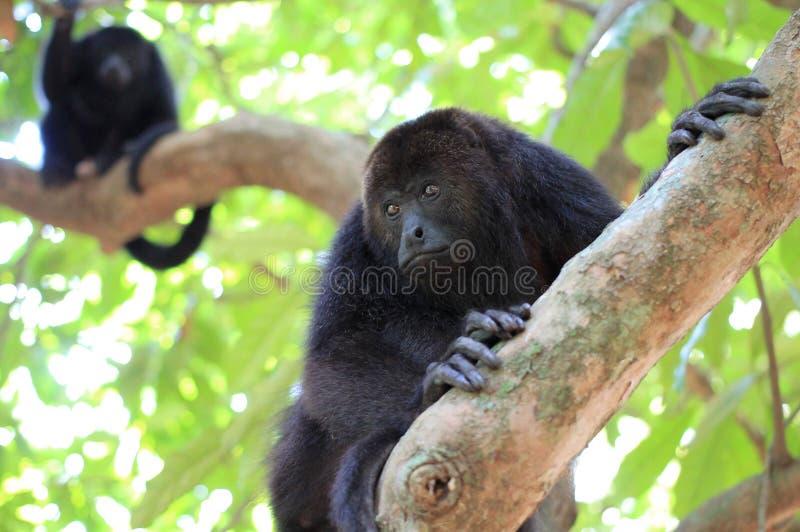 Macacos de Howler pretos em Belize fotografia de stock