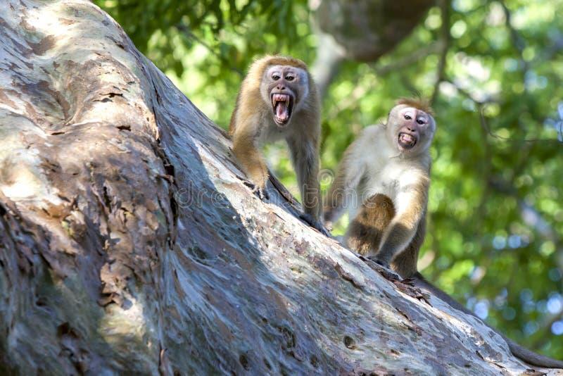 Um par de macaques irritados do Toque no parque nacional de Yala em Sri Lanka imagem de stock