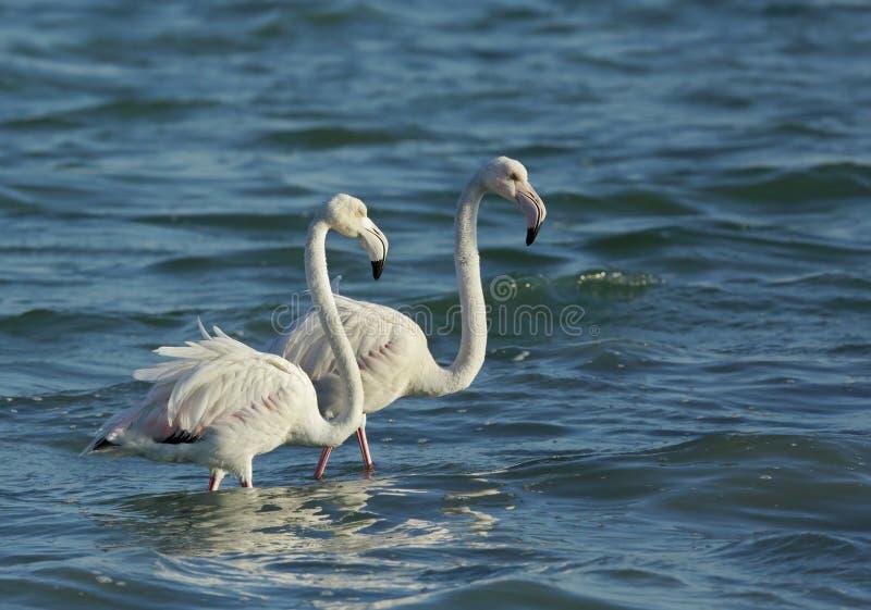 Um par de maiores flamingos bonitos que vadeiam na água, Barém fotos de stock royalty free
