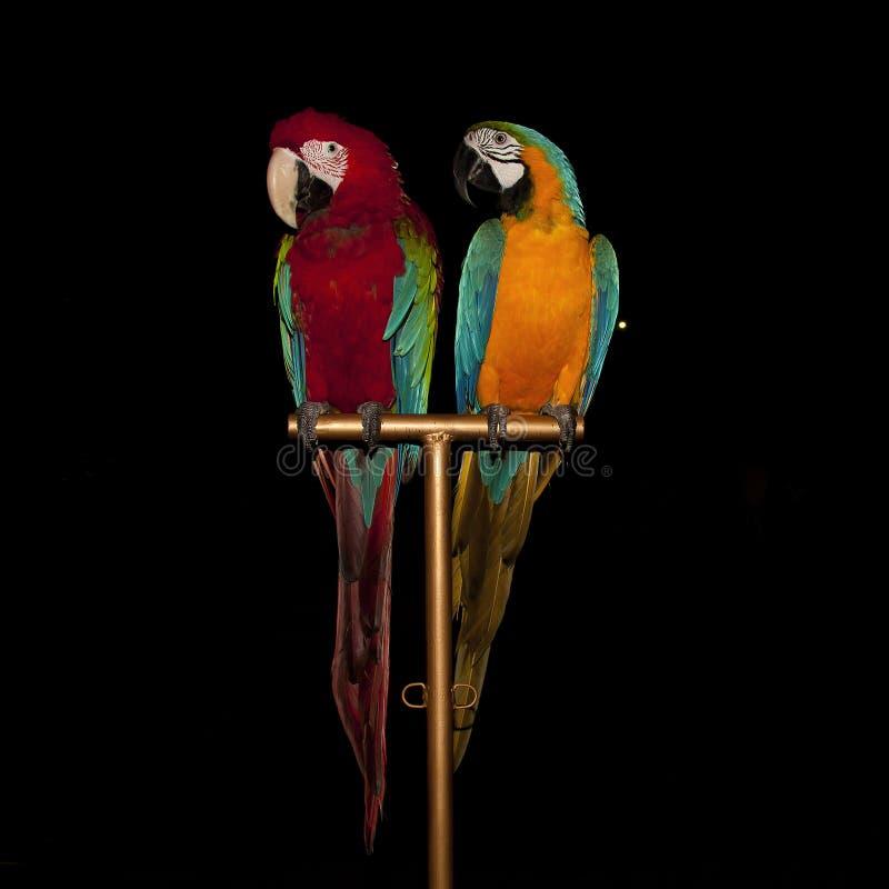 Um par de papagaios coloridos brilhantes da arara do circo que sentam-se em um suporte imagem de stock royalty free