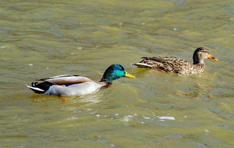 Um par de patos de acoplamento do pato selvagem que nadam junto por um rio de inundação de Roanoke fotografia de stock