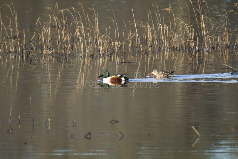 Um par de patos do pato-colhereiro do Norther fotografia de stock royalty free