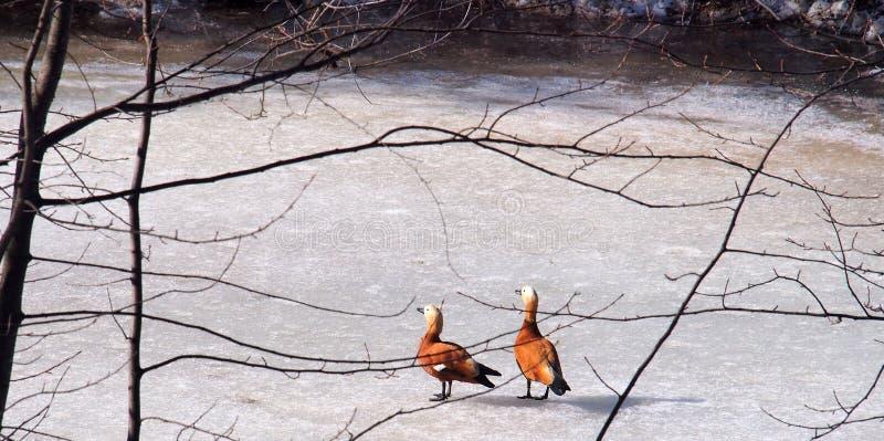 Um par de patos que andam no gelo de uma lagoa congelada imagens de stock royalty free