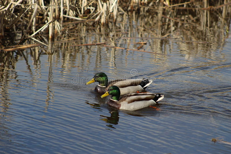 Um par de patos selvagens imagens de stock