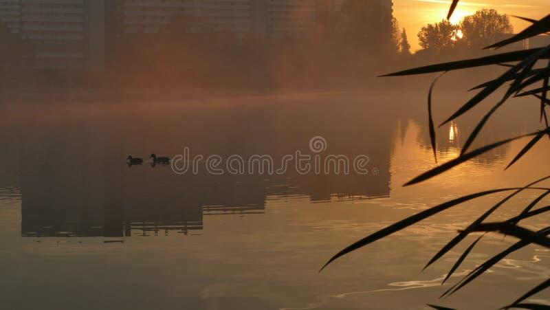 Um par de patos selvagens Flutua na lagoa perto do bairro social imagem de stock