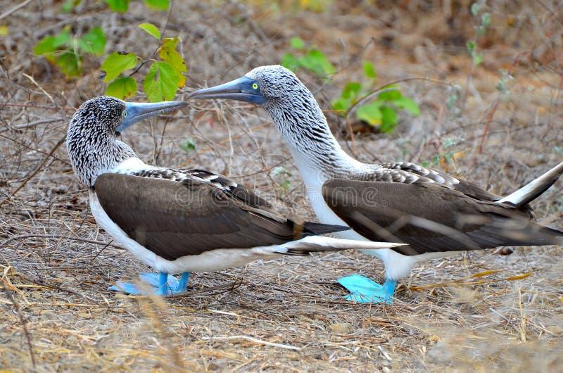 Um par de peitos footed azuis em Isla de la Plata, Equador imagens de stock royalty free