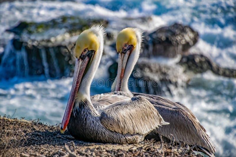 Um par de pelicanos imagens de stock