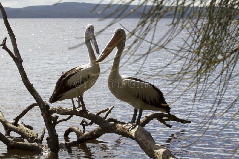 Um par de pelicanos que relaxam em uma árvore inoperante imagem de stock royalty free