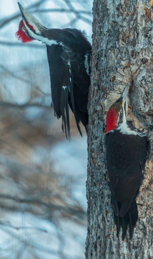 Um par de pica-pau de Pileated que descansa em um carvalho durante o inverno imagens de stock royalty free